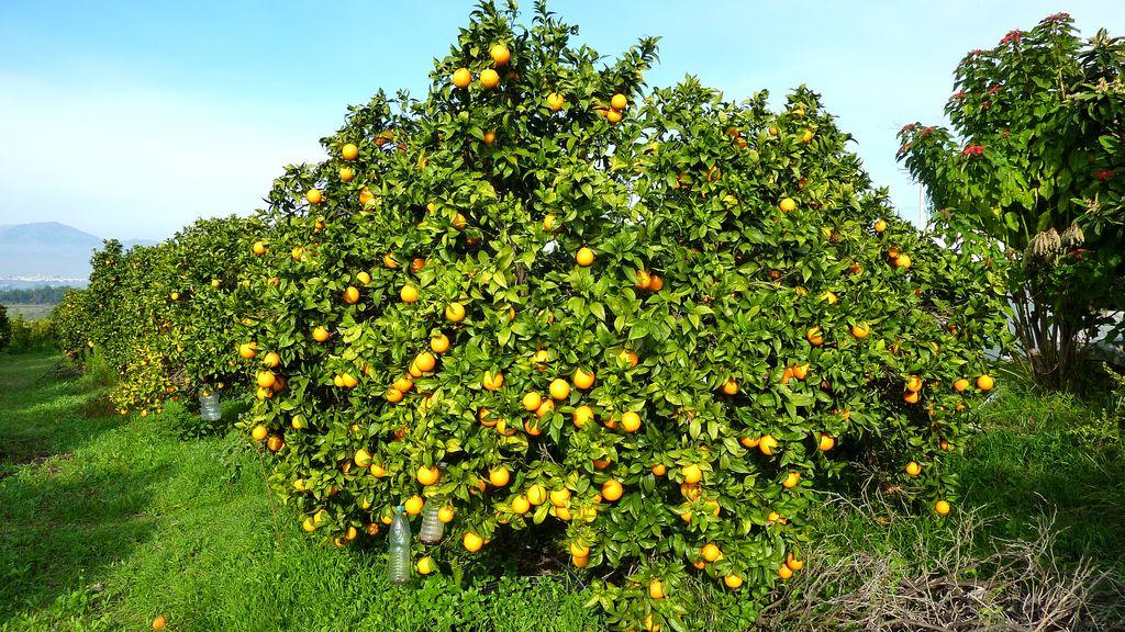 Ecoc tricos el cerraj n c tricos ecol gicos del valle - Naranjas del arbol a la mesa ...