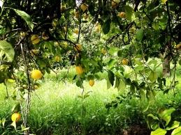 Limonero dulce